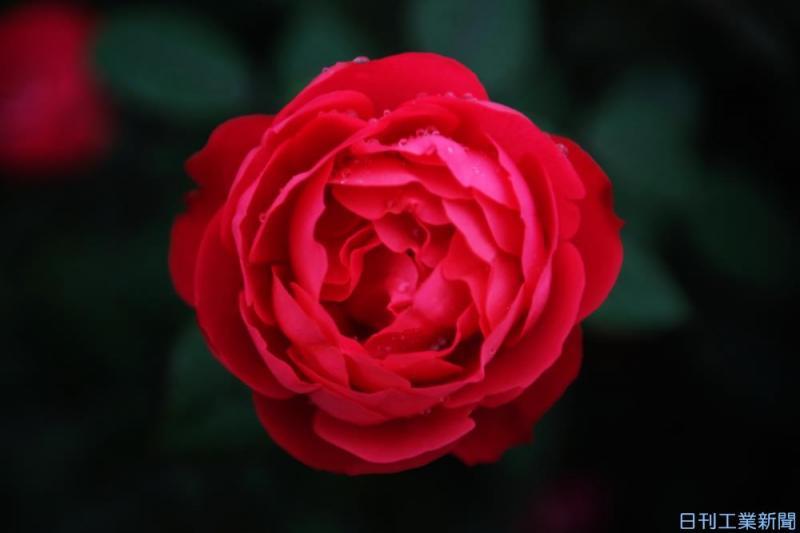 バラの花が美しいのはなぜか?植物の形を考える